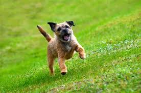border terrier border terrier pet insurance dog breed info