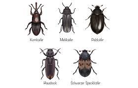 kleine schwarze käfer in haus und garten welche ist es