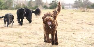 All Dog Breeds That Dont Shed by Labradoodles Hunting Dogs Hunting Dogs That Don U0027t Shed