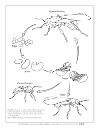 FileAnt Life Cycle Coloring Pagepdf