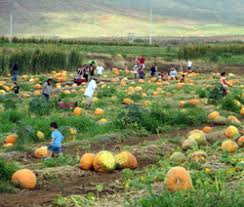 Waimanalo Pumpkin Patch Oahu by Visit A Real Pumpkin Patch And Start Your Hawaii Holiday Season