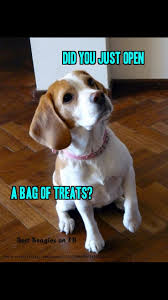Do Pocket Puggles Shed by 107 Best Beagles Images On Pinterest Beagles Animals And Baby