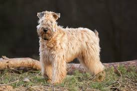 Do Irish Wheaten Terriers Shed by 35 Best Medium Sized Dog Breeds List Of Popular Cute Medium