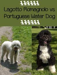 Portuguese Water Dog Shedding Problems by Lagotto Romagnolo Vs Portuguese Water Dog Lagotto Romagnolo