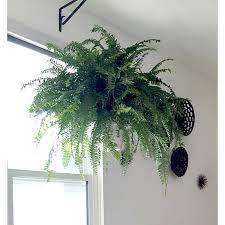 Fake Plants For The Bathroom by Delray Plants Boston Fern In 10