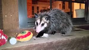 Opossum (possum) Visiting Our Porch - YouTube All About Opossums Wildlife Rescue And Rehabilitation Easy Ways To Get Rid Of Possums Wikihow Animals Articles Gardening Know How 4 Deter From Your Garden Possum Hashtag On Twitter Removal Living In Sydney Opossum Removal Services South Florida Nebraska Rehab Inc Help Nuisance Repel Gel Barrier Sealant For Squirrels And Raccoons To Of Terminix