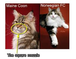 forest cat vs maine coon how to select a proper maine coon cat