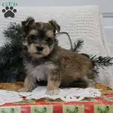 Morkies Do They Shed by Morkie Yorktese Puppies For Sale In Pa