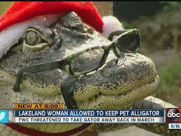 Spirit Halloween Lakeland Fl Hours by Watch Rambo The Friendly Gator Allowed To Stay With His Florida