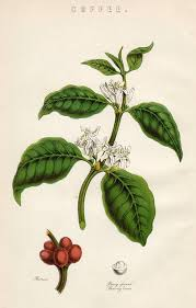 Coffee Plant Showing The Berries Drawing By Mary Evans Picture Library