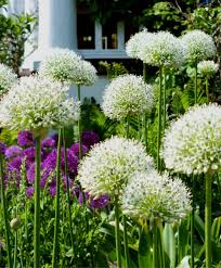 allium stipitatum white allium flower bulb index