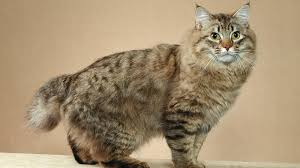 bobtail cat american bobtail cat info personality kittens pictures