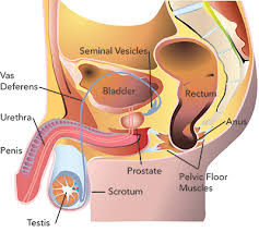 Pelvic Floor Muscle Training by Exercise For Men With Prostate Cancer Seattle Cancer Care Alliance