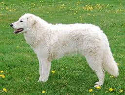 Dogs That Dont Shed A Lot by 7 Odorless Dog Breeds Simply For Dogs