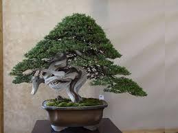 pot bonsai grande taille les 45 meilleures images du tableau bonsai sur bonsaïs