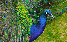 Dancing Peacock Full HD 1080p Wallpapers