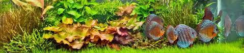 aquariumplants live plants for aquariums fish tanks