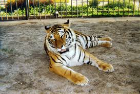 100 Tiger Truck Stop Louisiana Tony S Controversial Mascot Put To Rest At The
