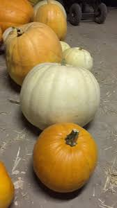 Pumpkin Patch Waco Tx 2015 by Robinson Family Pumpkin Patch Home Facebook