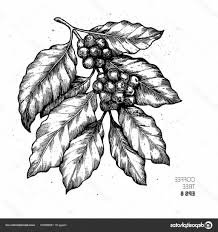 Coffee Tree Vector Stock Illustration Engraved Style