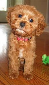 do cavapoos shed a lot 166 best cavapoo cuties images on cavapoo cavapoo
