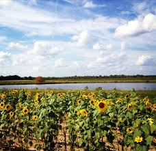 Pumpkin Patch Rides by Aplin Farms Malvern Alabama Pumpkin Patch You Pick Sunflowers