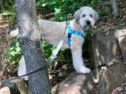 Do Wheaten Terrier Dogs Shed by Our Wheatens And Whoodles As Service Dogs Celebrity Pups