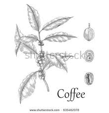 Coffee Tree Hand Drawing Engraving Style