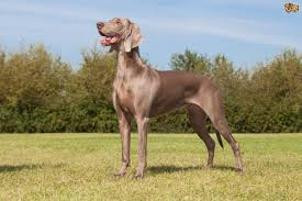 Do Long Haired Weimaraners Shed by Weimaraner Dog Breed Information Buying Advice Photos And Facts