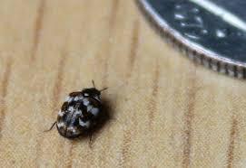 Carpet Weevil Pictures by Varied Carpet Beetle What U0027s That Bug