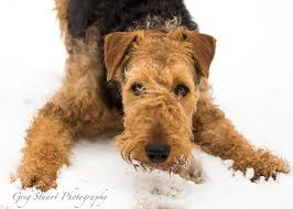 Airedale Terrier Non Shedding by 164 Best х Airedale Terrier Images On Pinterest Airedale Terrier