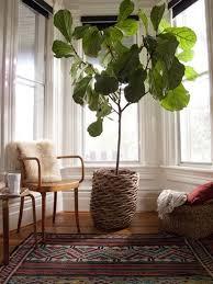 fiddle fig leaf pflegeleichte zimmerpflanzen
