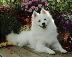 Small White Non Shedding Dog Breeds by American Eskimo Dog Dog Breed Information Puppies U0026 Pictures
