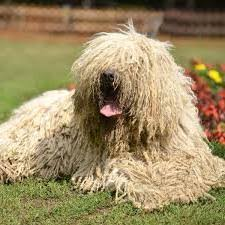 Large Non Shedding Dogs Pictures by Cute Dog Breeds That Don T Shed Exceptional A Big Dog That Doesn