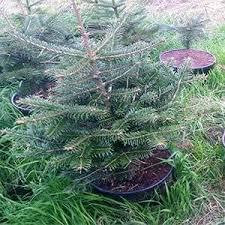 Potted Christmas Tree by Potted Christmas Tree Pot Growing Tree Cork Christmas Trees