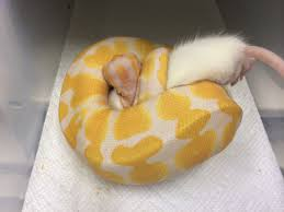 Ball Python Bedding by The Psychology Of Problem Feeders U2013 Get Your Ball Python Eating