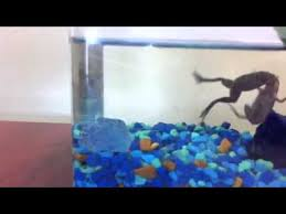 Do Aquatic Dwarf Frogs Shed Their Skin by African Dwarf Frogs Fighting Over Skin Youtube