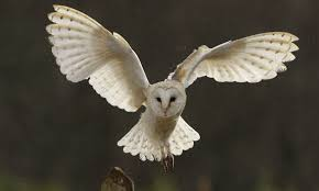 Non-Sentient - Bruthaan Owls | Star Wars RolePlay Catching Prey In The Dark Barn Owl Tyto Alba Owls Make A Comeback Iowa The Gazette Of Australia Australian Geographic How To Build Or Buy Nest Box Company Best 25 Ideas On Pinterest Beautiful Owl Owls And Modern Farmer Absolutely Stunning Barn Drawing From Artist Vanessa Foley Audubon California Starr Ranch Live Webcams Red By Thef0xdeviantartcom Deviantart Tattoo Scvnewscom Opinioncommentary Beautifully Adapted 9 Best Images A Smile Animal Fun