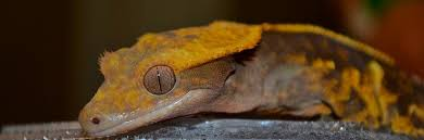 Crested Gecko Shedding Help by Crested Gecko Care Chicago Exotics Animal Hospital