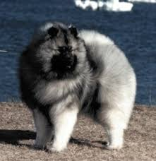 Dogs That Dont Shed Keeshond by Klompen Keeshonden What Is A Keeshond Faq