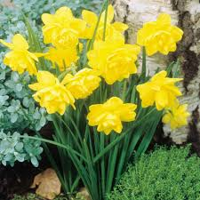 buy narcissi tete a tete bulbs j s