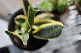 Best Plant For Bathroom Australia by Better Breathing 6 Of The Best Plants For Indoor Air Quality