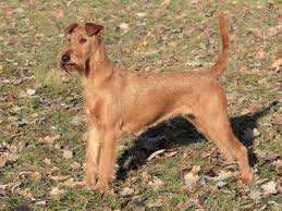 Do Irish Wheaten Terriers Shed by Irish Terrier Dog Breed Information Buying Advice Photos And