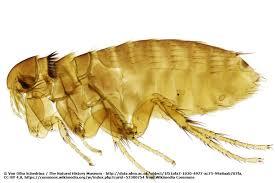 kleine springende insekten um diesen käfer handelt es sich