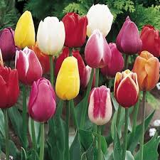 buy mixedtriumph tulips 25 bulbs or buy in bulk