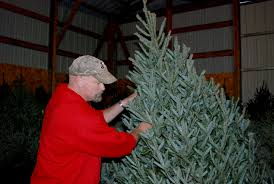 Types Of Christmas Trees To Plant by Christmas Tree Sales Begin Grower Offers Tips News Sports
