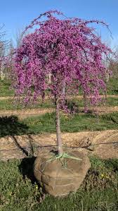 Redbud Lavender Twist Weeping Height 7 Spread 8 Shape Umbrella Shaped Foliage Medium Green Fall Color Yellow