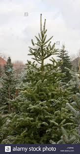 Silvertip Fir Christmas Tree by Balsam Fir Abies Balsamea Stock Photos U0026 Balsam Fir Abies Balsamea