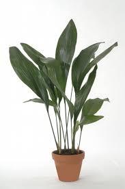 27 zimmerpflanzen für dunkle räume ideen zimmerpflanzen