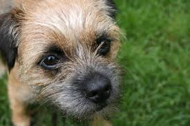 Miniature Dog Breeds That Dont Shed by Hd Pics Of Small Dogs That Don T Shed